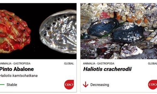 pinto-abalone-and-haliotis-cracherodii